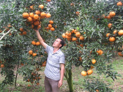 Cùng người dân thăm vườn cam sành Bắc Quang Hà Giang