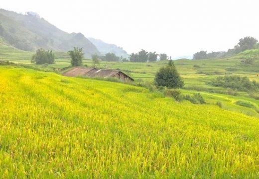 lịch săn lúa chín ở Sapa và Mù Cang Chải