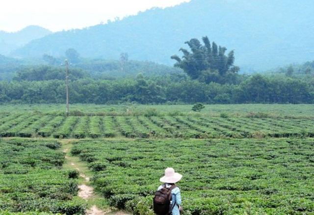 Du lịch Quảng Nam khám phá đồi chè Đông Giang