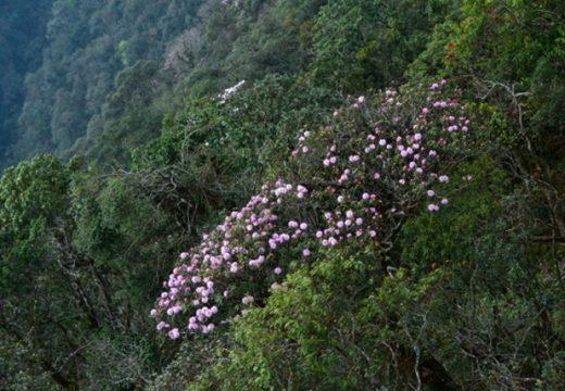 Du lịch Sapa ngắm hoa đỗ quyên rực rỡ giữa núi rừng Tây Bắc