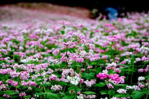 Lễ hội hoa tam giác mạch ở Hà Giang
