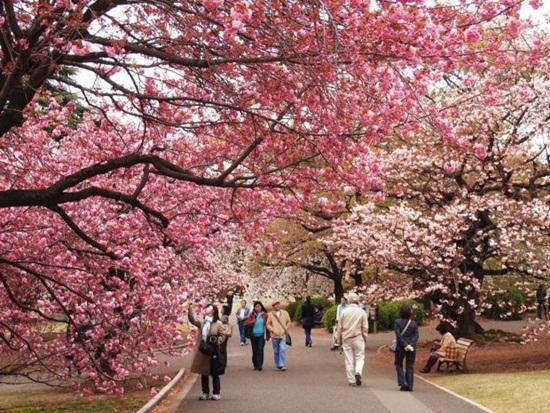 Kinh nghiệm du lịch bụi nhật bản mùa hoa anh đào
