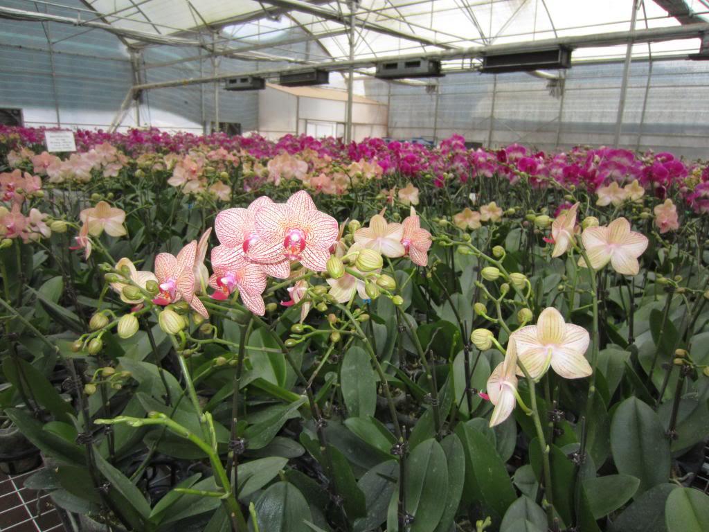 vườn hoa lan dâu tây Mộc Châu